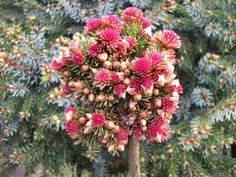 Picea abies 'Spring Fire' Found at the Iseli Nursery as a witches' broom on a 'Rubraspicata'.