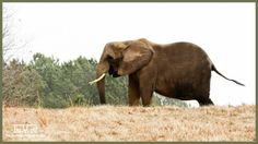 African #Elephant #Nosey eats lunch on a hilltop in her habitat at The Sanctuary. Shared on March 1st, 2018 By The Elephant Sanctuary in Tennessee