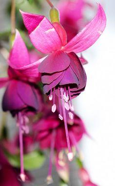 Fuchsia to attract hummingbirds!