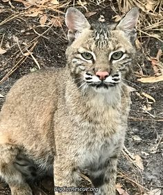 Sioux Bobcat - Today