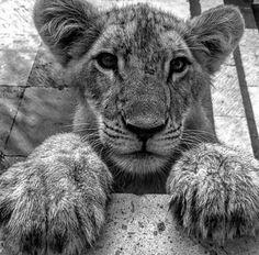 Lion cub.  #lions