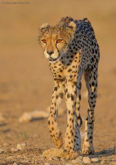 Cheetah, Kgalagadi Transfrontier Park, Kalahari Desert, South Africa