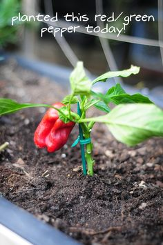 DIY garden. such a big pepper for a small plant! how to garden on link