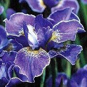 Iris sibirica 'Silver Edge' (Siberian iris 'Silver Edge')