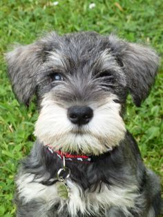 images for minturn schnazer | Miniature Schnauzer dog photo and wallpaper. Beautiful Cute Miniature ...