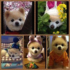 I am Shunsuke (Pomeranian dog)