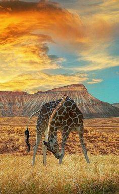 Apparently giraffes roam free on East Orchard Mesa..