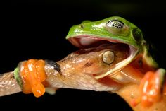 """An aptly named winner of the 2008 Wildlife Photographer of the Year contest, """"Deadlock"""" was captured in the dead of night in a Belizean rain forest."""