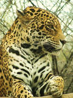Jaguar   Waco, Texas