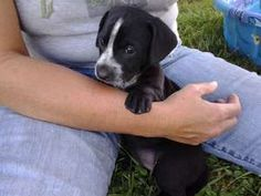 Baby Oreo--cute videos! is an adoptable Labrador Retriever Dog in Manchester, NH. This adorable pup is one of nine born in southern Indiana. �6 weeks old as of August 1 and in a loving foster home. �T...