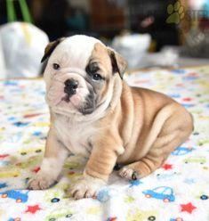 #EnglishBulldog #Charming #PinterestPuppies #PuppiesOfPinterest #Puppy #Puppies #Pups #Pup #Funloving #Sweet #PuppyLove #Cute #Cuddly #Adorable #ForTheLoveOfADog #MansBestFriend #Animals #Dog #Pet #Pets #ChildrenFriendly #PuppyandChildren #ChildandPuppy #LancasterPuppies www.LancasterPuppies.com Bulldog Puppies For Sale, English Bulldog Puppies, French Bulldog, Lancaster Puppies, Animals Dog, Dundee, Mans Best Friend, Puppy Love, Pets