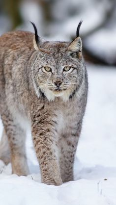 Wallpaper iPhone 5 640x1136 lynx, wolf, cat, snow, winter Background Download Apple Picture, Image WallpapeprsCraft