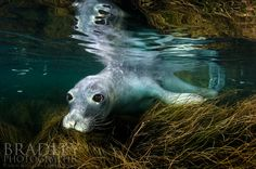 This is a rare shot of a female northern elephant seal underwater.  It's easy and common to see these guys on land, but they forage far off shore in the deep water so capturing them wet is challenging.