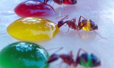 Mohamed Babu created technicolor ants by feeding colored sugar water to ants with translucent abdomens. Babu conducted the experiment in his backyard after his wife noticed the ants turning white as they drank spilled milk. Photo New, Foto Macro, Colored Sugar, Fotografia Macro, Taste The Rainbow, Food Coloring, Science Nature, Beauty Science, Nature Nature