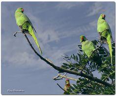 Just like mine at home. Indian ringneck parakeets.