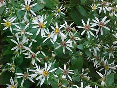 Eurybia divaricata, or Wood Aster