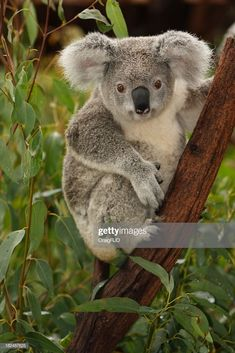 Cute Koala On Tree Branch Portrait High .