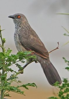 Arrow marked Babbler (Turdoides jardineii) is a species of bird in the Leiothrichidae family found in many parts of Africa. The common name for the species is derived from its plumage, which is brownish-grey above and lighter below, with white tips to the feathers on the throat, neck and head. The iris is bright red and the inner ring of the eye bright yellow or orange. The males and females are identical in appearance.