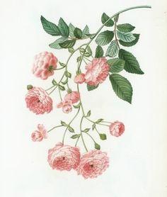 botanic floral ❀ rosa multiflora (rambling rose or multi-flowered rose) I801-I9 by pierre joseph redouté (I759 † I840) pink flower source traité des arbres via pinterest.com