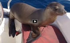 AWESOME!!! This video is remarkable. A seal lion pup swims by a boat,  jumps on board, then climbs into the lap of a man sitting there, and proceeds to hang out for an ho