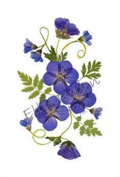 Conjunto de 6 tarjetas - presionado tarjetas de flores - Hardy geranios