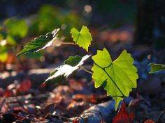 Leaves in the Sunlight