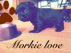 Morkie love!❤️