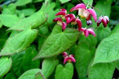 """Barrenwort or Epimedium, is a woodland groundcover & 1 of the best perennials for shady spots. Attractive leaves on wiry stems are followed by tiny flower spikes with spurs mid April to May. Species & hybrids are 6-12"""" high, with yellow, pink, white or violet flowers. It spreads slowly, in Zones 4-8. It needs moisture to get established, but once established, it tolerates drought. Mostly evergreen foliage helps prevent weeds in spring; cut ragged leaves off."""