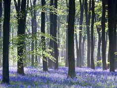 Bluebell Vision Photographic Print by Doug Chinnery at Art.com