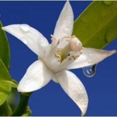 Neroli...What is the Spiritual and Emotional Influence? Neroli essential oil is all about staying in the present moment and not reminiscing of the past; or even worrying about the future. For us to manifest what we want we must be completely in our power and be present energetically in the moment.