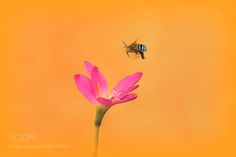 The beauty & the bee by srravi #nature #mothernature #travel #traveling #vacation #visiting #trip #holiday #tourism #tourist #photooftheday #amazing #picoftheday