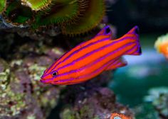 The small fish growing to a maximum adult size of about inches. The fish generally sports bright lavender and red lines against an orange body. The fish is the most beautiful and brightly coloured of all the coral reef fish. Saltwater Aquarium Fish, Saltwater Tank, Rare Fish, Exotic Fish, Pretty Fish, Beautiful Fish, Beautiful Pictures, Beautiful Sea Creatures, Animals Beautiful