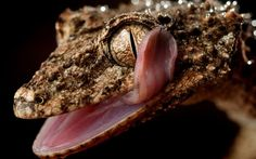 A rough-throated leaf-tailed gecko licks its own eye at Wild Action Zoo, Victoria, Australia - That is tongue control...  Picture: Bruce Magilton/Newspix / Rex Features