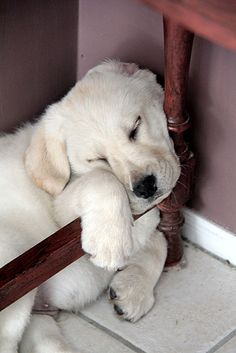 Labrador Retriever Pup ~ Classic Look Animals And Pets, Baby Animals, Funny Animals, Cute Animals, Cute Puppies, Dogs And Puppies, Pet Dogs, Dog Cat, Doggies