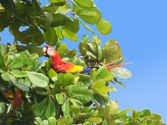 Red macaw eating almonds, Sierpe, CR