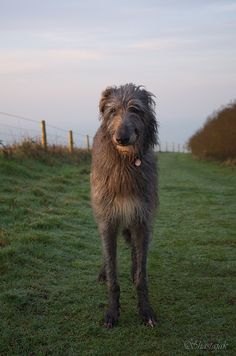 Scottish deerhound, in every picture these dogs look like they are smiling