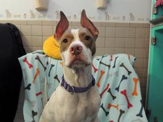 Meet Myla, a Petfinder adoptable Pit Bull Terrier Dog | Oswego, NY | Myla is a sweet girl who loves attention and people.Adopted !