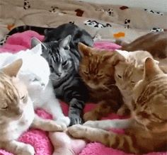 """catgifcentral: """"Brotherhood of the Paw"""""""