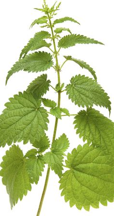 Nettle or magic in healing. Health And Beauty, Health And Wellness, Beauty Care, Beauty Hacks, Alternative Therapies, Holistic Medicine, Healing Herbs, Happy Mothers, Healthy Tips