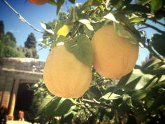 Lemons of Florence
