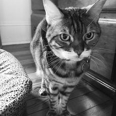 The look of a kitty faced with yet another rainy day! #pissykitty  #rain #tuesday #nosunshine #sad #blackandwhite #blacknwhite_perfection #nothappy #ladybrennaoffairfax #cat #cats #catsofinstagram #catsagram #catsofworld #kitty #katzenworldblog #cats_of_instagram #catlover #bengal #bengalcat #bengalsofinstagram #bengal_cats #faithhopeloveandlucksurvivedespiteawhiskeredaccomplice #vais4bloggers #vafoodie #foodblog #foodblogger #virginia