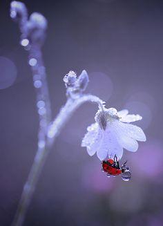 Dew covered ladybird