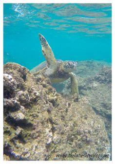 Turtle Hi-5. Oahu, Hawaii.