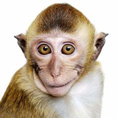 Did human speech evolve from #monkeys pulling faces?