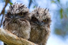 These recently fledged tawny frogmouths are distributed throughout the Australia, Tasmania and S New Guinea. (Deborah Pearse)
