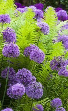 Allium Hollandicum with Ferns - Gardening Go #CottageGarden