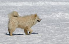 samoyed dog photo | Recent Photos The Commons Getty Collection Galleries World Map App ...