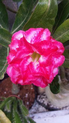 oktober bloei adenium no 5