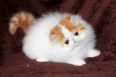 White & red tabby bi-color cutie