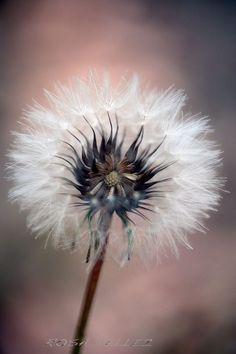 ~Make a Wish~ Dandelion Clock, Dandelion Wish, Taraxacum, Seed Pods, Jolie Photo, Belleza Natural, Make A Wish, Macro Photography, Yellow Flowers